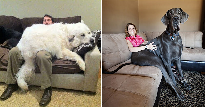 Cute Giant Dogs Who Don't Realize Just How Big They Are