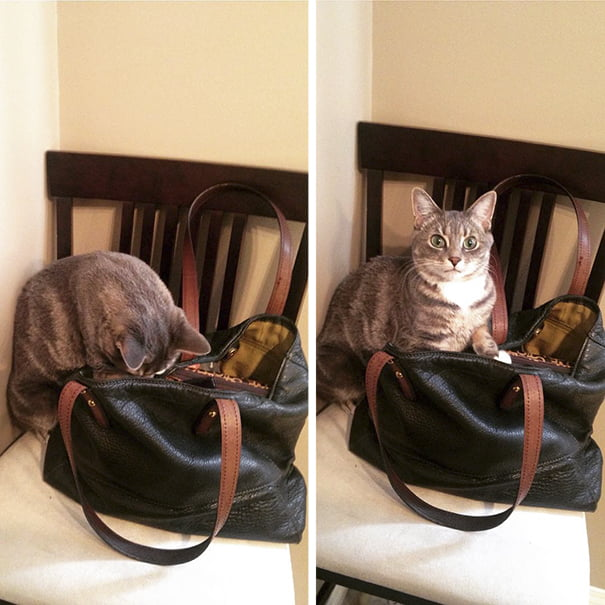 Funny animal thieves cat steals purse