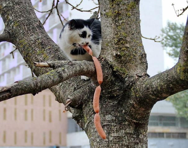 Funny animal thieves cat steals sausage