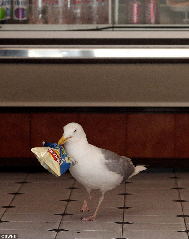 Funny animal thieves seagull steals chips