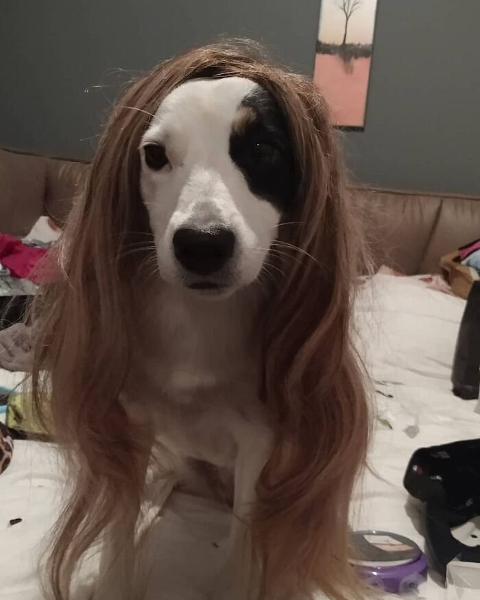 Funny Dog With Wig