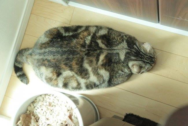 It's so hot, the cat melted. Funny cat photo.