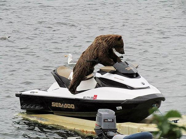 funny bear ski jet