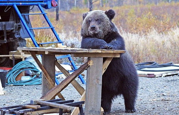 funny bear chilling at the table