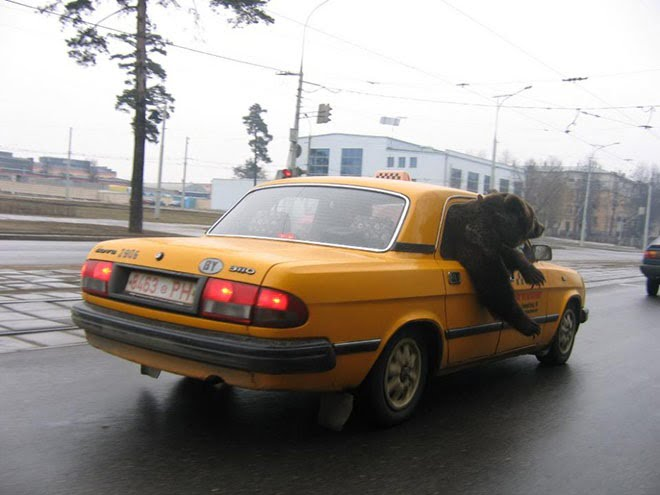 funny bear in taxi
