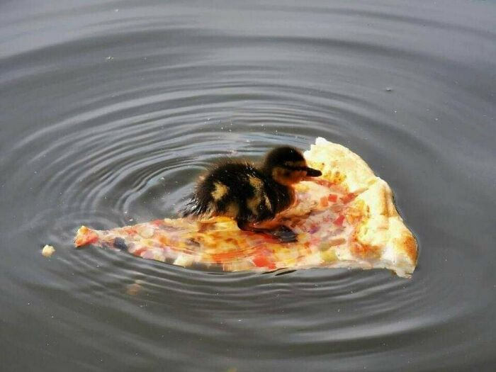 funny animals doing funny things duck floats on pizza