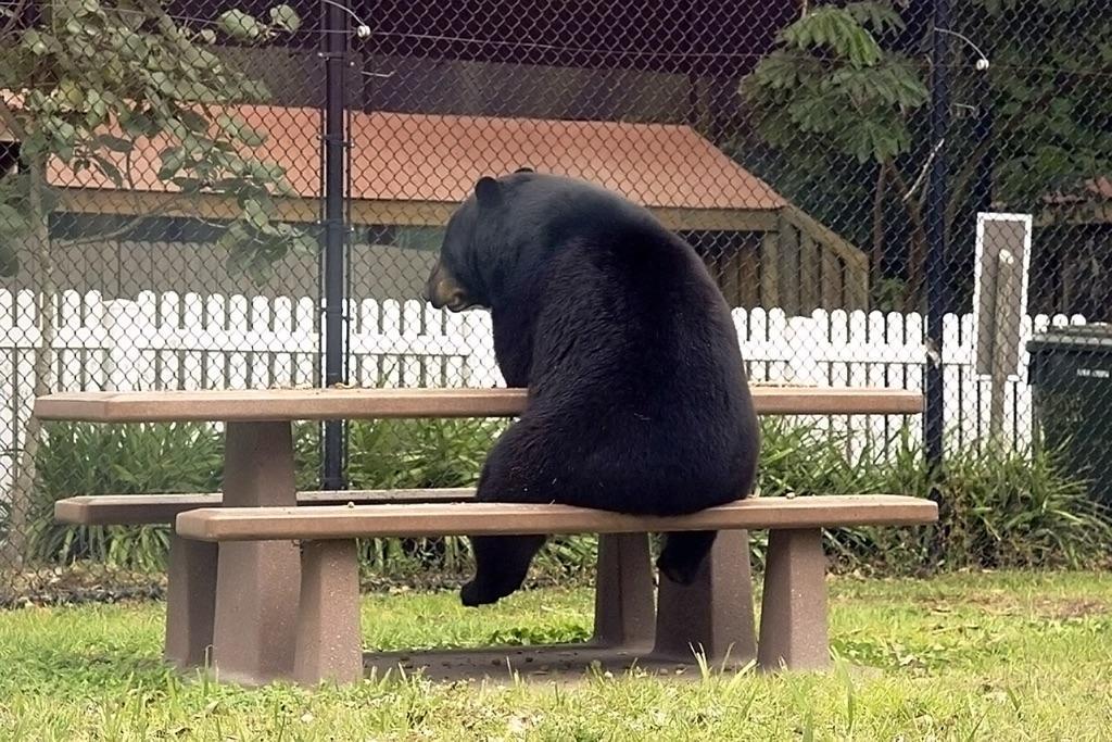funny bear picnic table