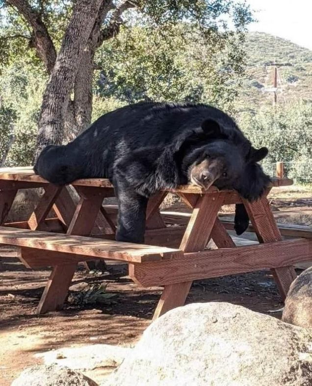 funny bear sleeps on picnic table