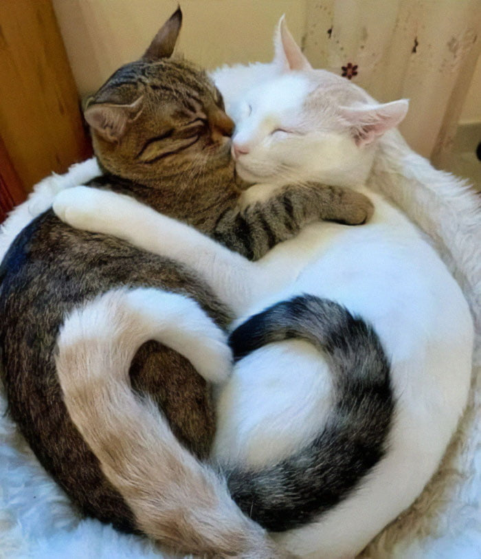 two funny cats snuggling hear tails