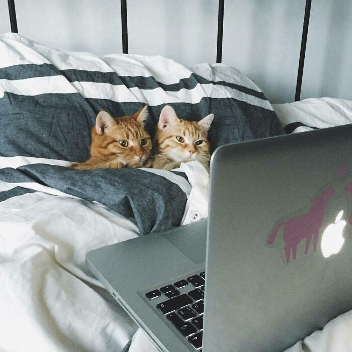 two funny cats in bed watching the laptop