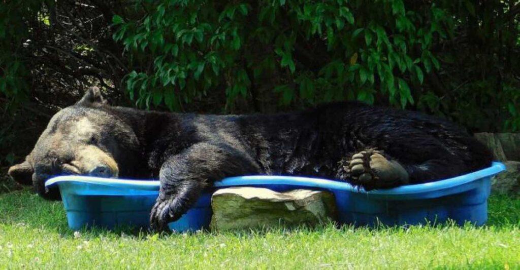 funny bear in kiddy pool