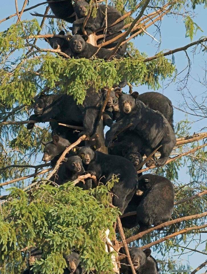 funny bears in tree