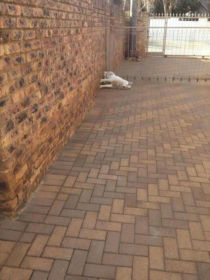 Funny Silly Husky Dog