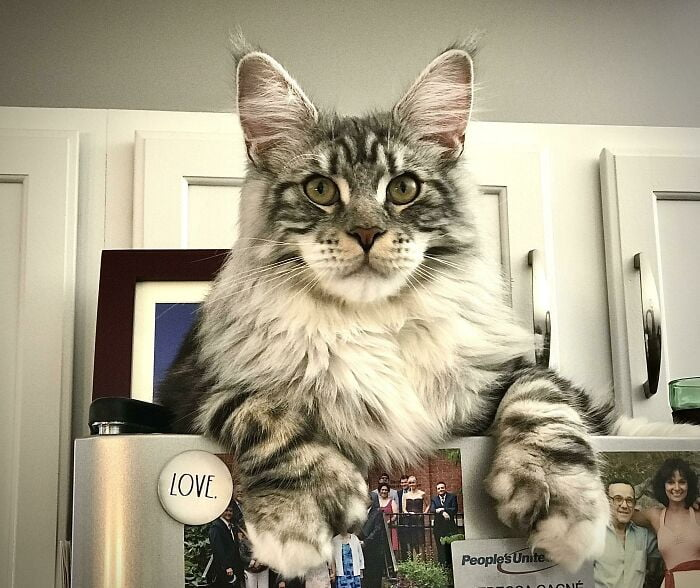 biggest cats in the world